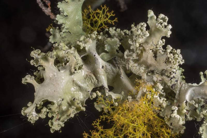 "Powdered ruffle lichen (<B>Parmotrema hypotropum</B>) on small trees or bushes in half-open area at Lake Somerville Trailway near Birch Creek Unit of Somerville Lake State Park. Texas, <A HREF=""../date-en/2019-12-21.htm"">December 21, 2019</A>"