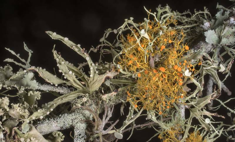 "Foliose lichens Ramalina celastri and <B>Teloschistes exilis</B> at Lake Somerville Trailway near Birch Creek Unit of Somerville Lake State Park. Texas, <A HREF=""../date-en/2019-12-21.htm"">December 21, 2019</A>"