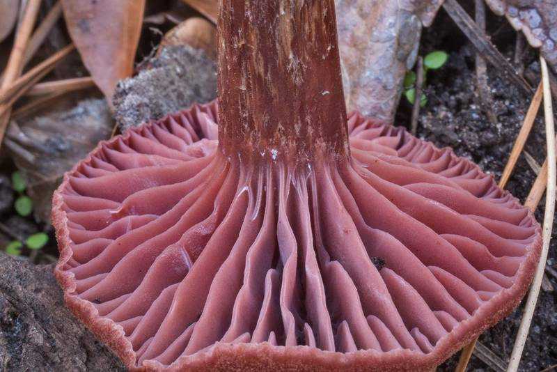 "Gills of amethyst deceiver mushroom (<B>Laccaria amethystina</B>) on a wet slope on Caney Creek section of Lone Star Hiking Trail in Sam Houston National Forest north from Montgomery. Texas, <A HREF=""../date-en/2019-12-27.htm"">December 27, 2019</A>"