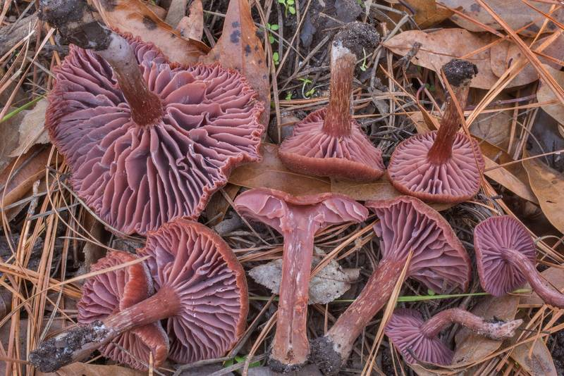 "Dissected amethyst deceiver mushrooms (<B>Laccaria amethystina</B>) on a wet slope on Caney Creek section of Lone Star Hiking Trail in Sam Houston National Forest north from Montgomery. Texas, <A HREF=""../date-en/2019-12-27.htm"">December 27, 2019</A>"