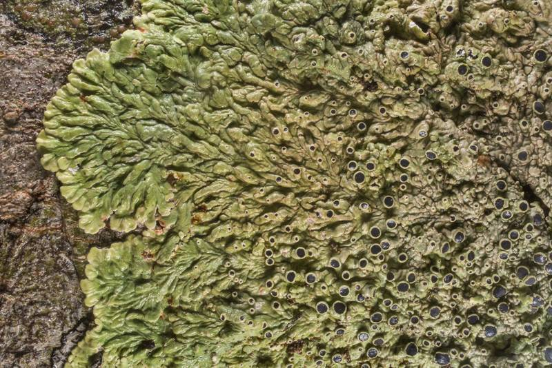 "Medallion lichen (<B>Dirinaria confusa</B>) on bark of hackberry tree in Washington-on-the-Brazos State Historic Site. Washington, Texas, <A HREF=""../date-en/2019-12-28.htm"">December 28, 2019</A>"
