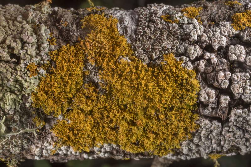 "Sunburst lichen <B>Xanthomendoza weberi</B> on a twig of a tree in Washington-on-the-Brazos State Historic Site. Washington, Texas, <A HREF=""../date-en/2019-12-28.htm"">December 28, 2019</A>"