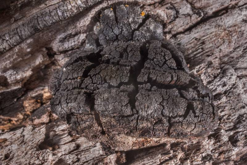 "Blackened and deeply cracked upper surface of bracket mushroom Fomitiporia texana (Phellinus robustus) on a branch of a dried red cedar tree in Washington-on-the-Brazos State Historic Site. Washington, Texas, <A HREF=""../date-en/2019-12-28.htm"">December 28, 2019</A>"