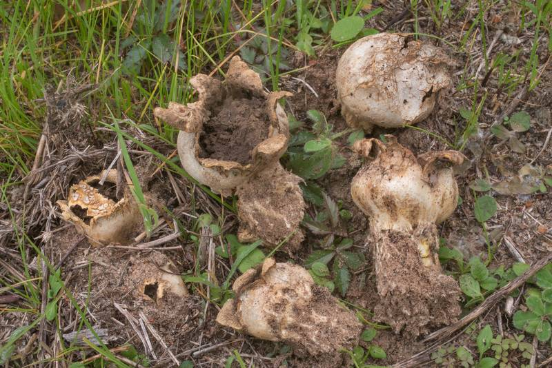 Star eathball mushrooms (Scleroderma polyrhizum) on a lawn near Robinson Ferry Road in Washington-on-the-Brazos State Historic Site. Washington, Texas, December 28, 2019