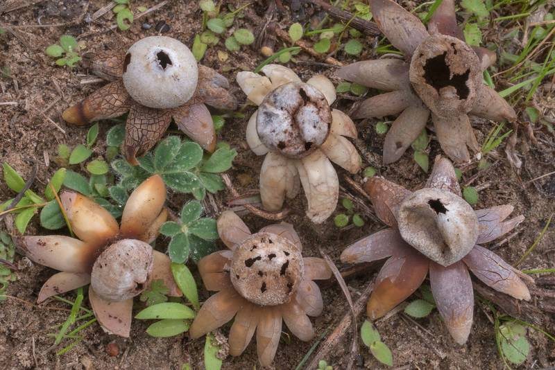 "Mature opened hygroscopic earthstar mushrooms (<B>Astraeus hygrometricus</B>) on a lawn near Robinson Ferry Road in Washington-on-the-Brazos State Historic Site. Washington, Texas, <A HREF=""../date-en/2019-12-28.htm"">December 28, 2019</A>"