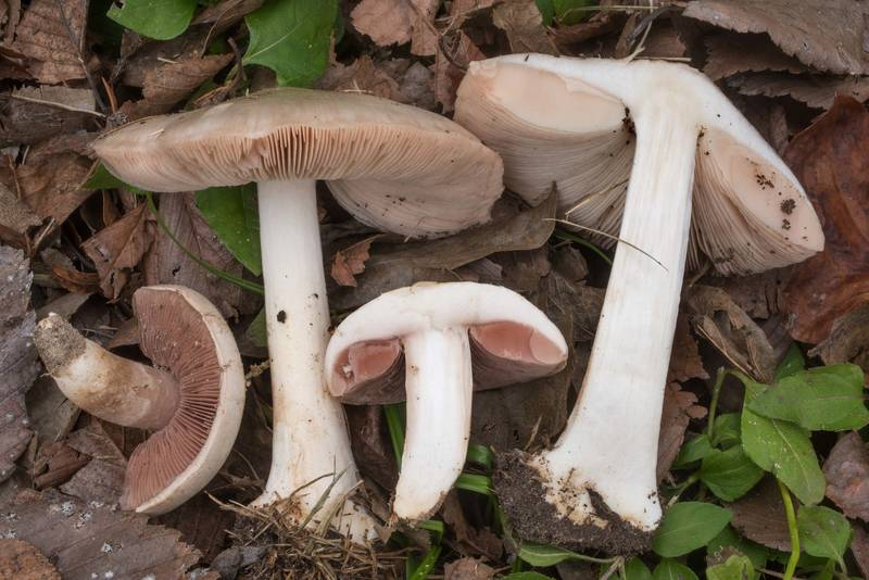 "Dissected big sheath mushroom (<B>Volvopluteus gloiocephalus</B>) and some Agaricus on a lawn in Wolf Pen Creek Park. College Station, Texas, <A HREF=""../date-en/2020-01-01.htm"">January 1, 2020</A>"
