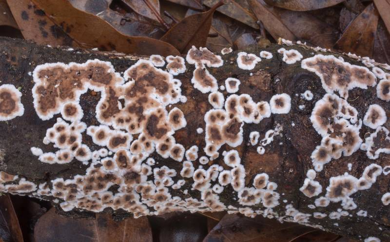 Crust fungus Giraffe Spots (Peniophora albobadia, Dendrophora albobadia) on a fallen twig in Lick Creek Park. College Station, Texas, January 3, 2020