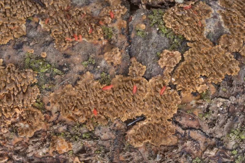 Hydnoid crust fungus Hymenochaetopsis olivacea (Hydnoporia olivacea) with tiny red larvae on a fallen oak branch in Lick Creek Park. College Station, Texas, January 3, 2020