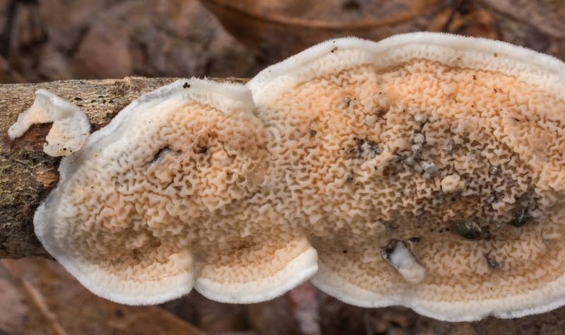 Netted Crust fungus (Byssomerulius corium) on a fallen oak limb in Lick Creek Park. College Station, Texas, January 3, 2020