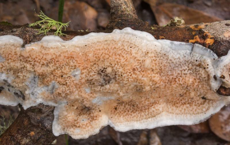 Netted Crust fungus (Byssomerulius corium) on a fallen oak twig in Lick Creek Park. College Station, Texas, January 3, 2020