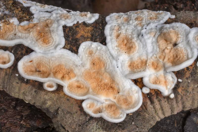 Patches of netted Crust fungus (Byssomerulius corium) on a fallen oak twig in Lick Creek Park. College Station, Texas, January 3, 2020