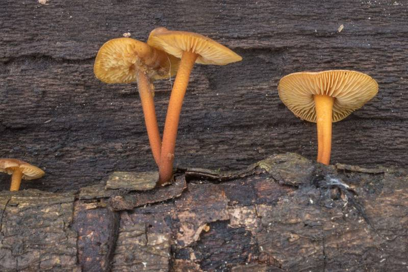 Side view of orange mushrooms Xeromphalina tenuipes (Heimiomyces tenuipes) growing on a twig against a dark oak log background in Lick Creek Park. College Station, Texas, January 3, 2020