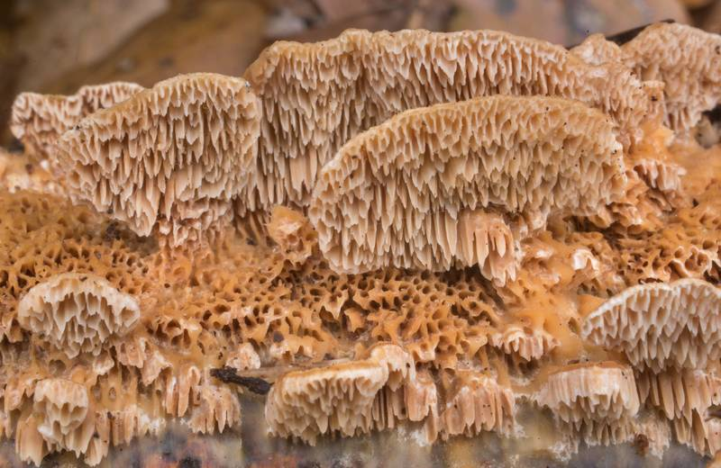 "Texture of mushrooms <B>Trametopsis cervina</B> on a fallen branch in Lick Creek Park. College Station, Texas, <A HREF=""../date-en/2020-01-03.htm"">January 3, 2020</A>"