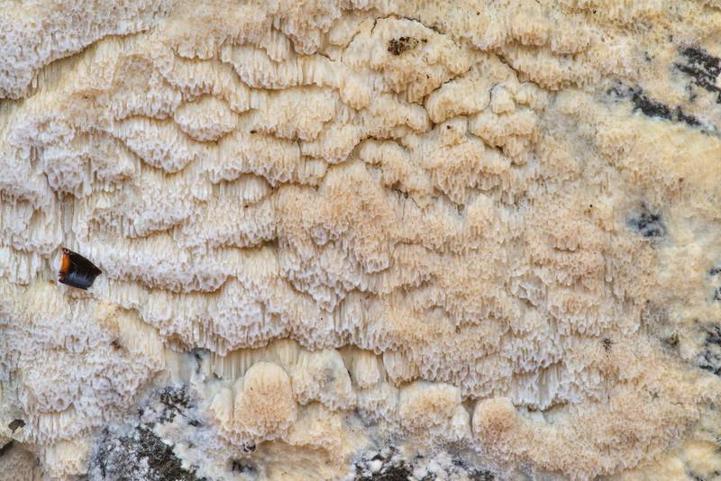 Texture of thin Physisporinus mushroom on a vertically cut surface of a fallen pine on Stubblefield section of Lone Star hiking trail north from Trailhead No. 6 in Sam Houston National Forest. Texas, January 4, 2020