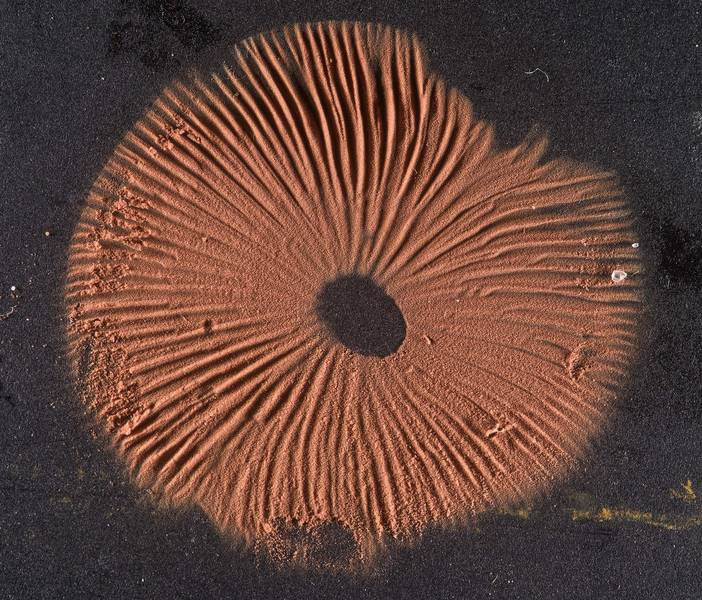 Brown spore print of a pinkgill mushroom Entoloma hirtipes taken a day earlier from Sam Houston Forest. College Station, Texas, January 5, 2020