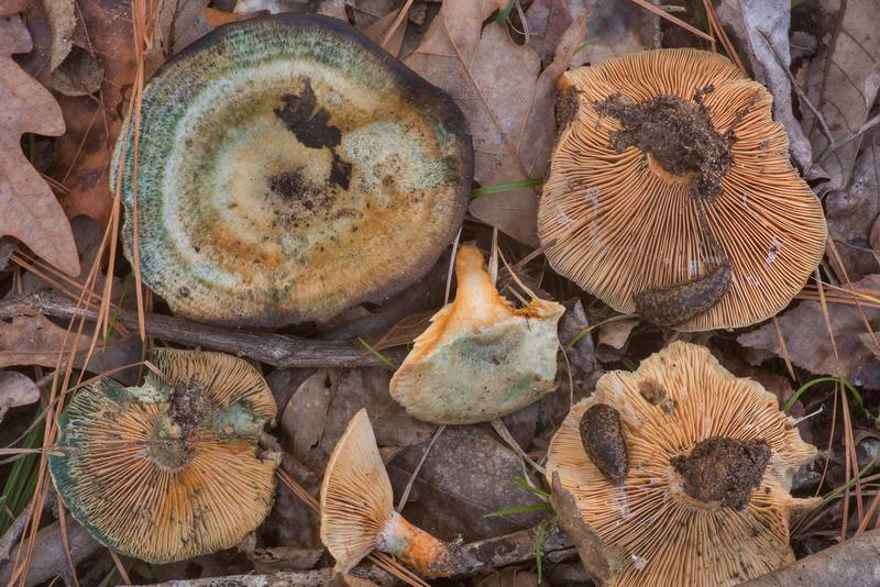 "Milkcap mushrooms <B>Lactarius paradoxus</B> near the creek on Caney Creek Trail (Little Lake Creek Loop Trail) in Sam Houston National Forest north from Montgomery. Texas, <A HREF=""../date-en/2020-01-12.htm"">January 12, 2020</A>"