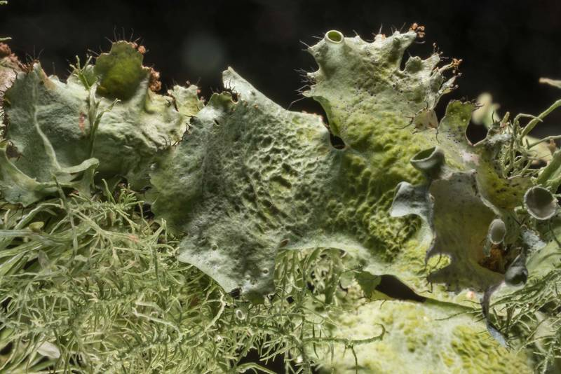 "Perforated ruffle lichen (<B>Parmotrema perforatum</B>) and Usnea on a twig fallen from an oak in Lick Creek Park. College Station, Texas, <A HREF=""../date-en/2020-01-13.htm"">January 13, 2020</A>"