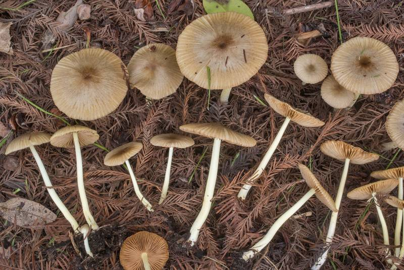 "Mushrooms <B>Bolbitius reticulatus</B> among fallen needles under a planted swamp cypress tree on George Bush Drive near intersection with Texas Avenue. College Station, Texas, <A HREF=""../date-en/2020-01-17.htm"">January 17, 2020</A>"