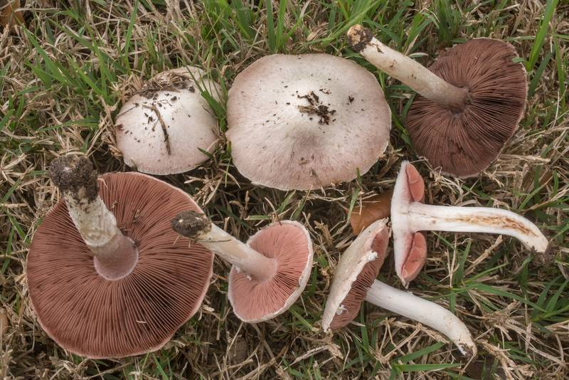 "Dissected meadow mushrooms (<B>Agaricus campestris</B>) on a lawn near New Main Drive on campus of Texas A and M University. College Station, Texas, <A HREF=""../date-en/2020-01-17.htm"">January 17, 2020</A>"