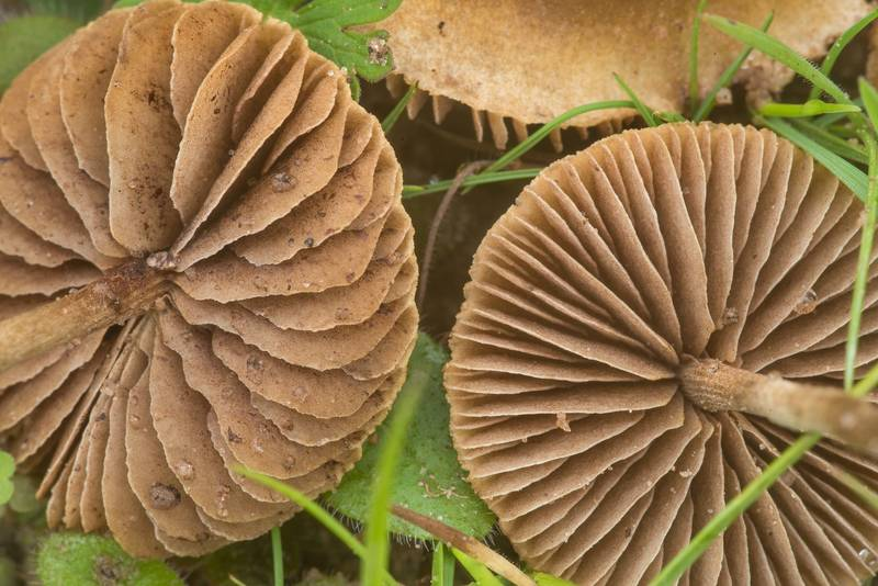 "Gills of common fieldcap mushrooms (<B>Agrocybe pediades</B>) in prairie on Loop Trail in Washington-on-the-Brazos State Historic Site. Washington, Texas, <A HREF=""../date-en/2020-01-18.htm"">January 18, 2020</A>"