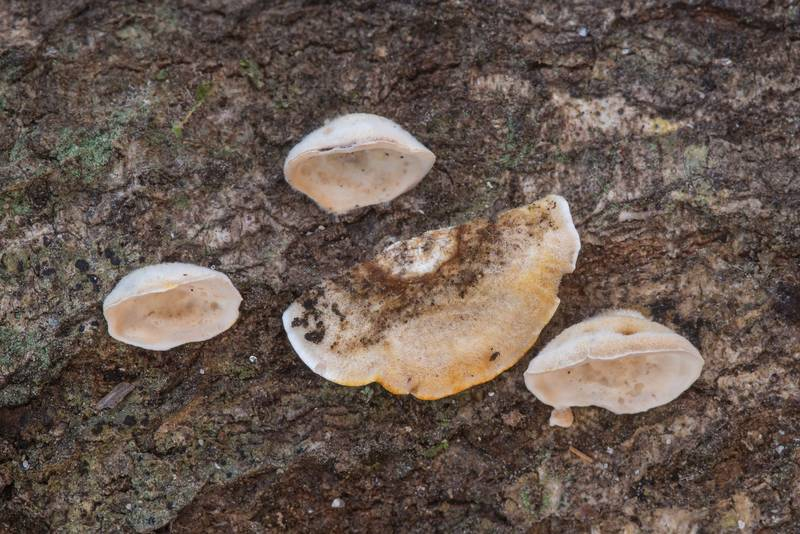 Crust fungus Stereum on a fallen oak in Big Creek Scenic Area of Sam Houston National Forest. Shepherd, Texas, January 19, 2020