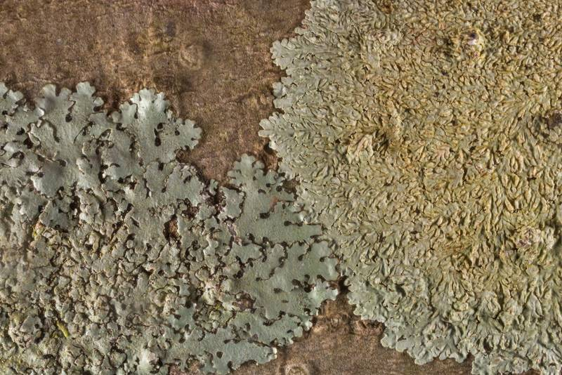"Lichens <B>Parmelinopsis minarum</B> (Hypotrachyna minarum) and Dirinaria on a tree in Big Creek Scenic Area of Sam Houston National Forest. Shepherd, Texas, <A HREF=""../date-en/2020-01-19.htm"">January 19, 2020</A>"