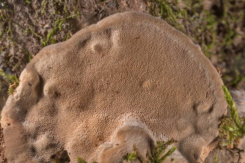 "Pores of polypore mushroom <B>Niveoporofomes spraguei</B>(?) on a dry standing tree near the creek in Big Creek Scenic Area of Sam Houston National Forest. Shepherd, Texas, <A HREF=""../date-en/2020-01-19.htm"">January 19, 2020</A>"