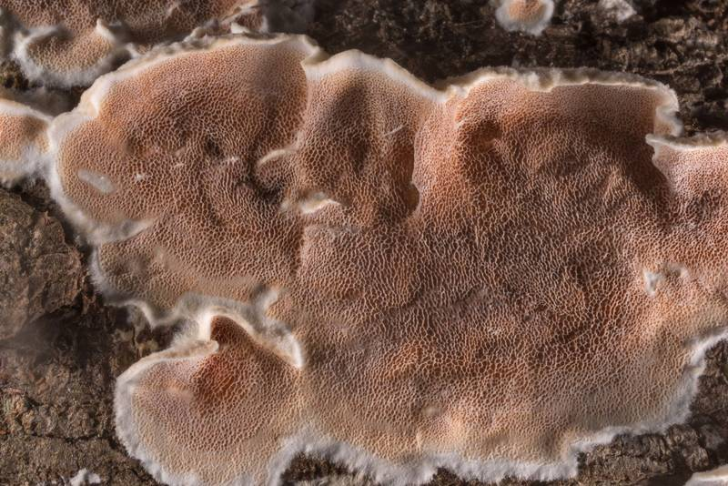 "Polypore mushrooms <B>Gelatoporia dichroa</B> (Gloeoporus dichrous) on a fallen oak in Big Creek Scenic Area of Sam Houston National Forest. Shepherd, Texas, <A HREF=""../date-en/2020-01-19.htm"">January 19, 2020</A>"