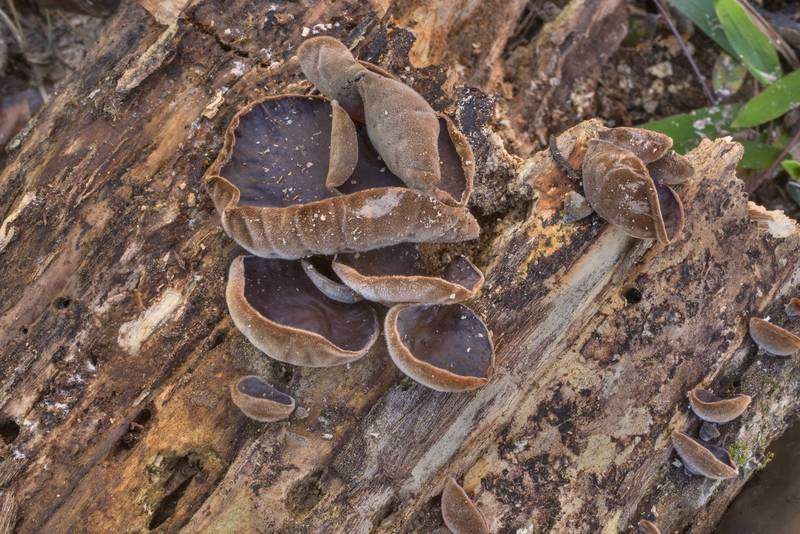 "Cloud ear jelly mushrooms (<B>Auricularia nigricans</B>, Auricularia polytricha) on a fallen oak in Big Creek Scenic Area of Sam Houston National Forest. Shepherd, Texas, <A HREF=""../date-en/2020-01-19.htm"">January 19, 2020</A>"