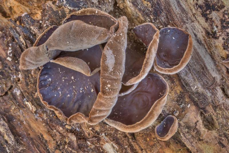 "Cloud ear jelly mushrooms (<B>Auricularia nigricans</B>, Auricularia polytricha) on rotting oak in Big Creek Scenic Area of Sam Houston National Forest. Shepherd, Texas, <A HREF=""../date-en/2020-01-19.htm"">January 19, 2020</A>"