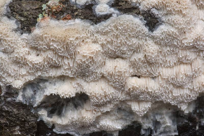 "Resupinate polypore mushroom mushroom <B>Physisporinus vitreus</B>(?) on an oak log in Lick Creek Park. College Station, Texas, <A HREF=""../date-en/2020-01-23.htm"">January 23, 2020</A>"