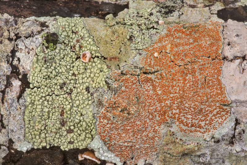 Various lichens on a dry oak in Lick Creek Park. College Station, Texas, January 23, 2020