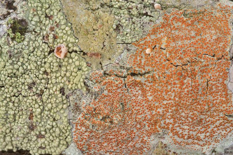 Pertusaria and sunken bloodspot (Haematomma persoonii) lichens on a dry oak in Lick Creek Park. College Station, Texas, January 23, 2020