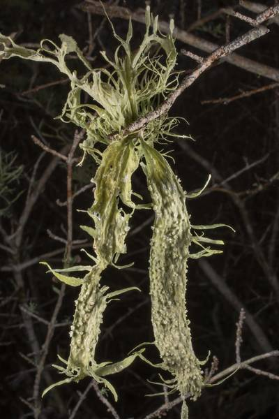 "Palmetto lichen (<B>Ramalina celastri</B>) on a small tree or a bush in half-open area at Lake Somerville Trailway near Birch Creek Unit of Somerville Lake State Park. Texas, <A HREF=""../date-en/2020-01-26.htm"">January 26, 2020</A>"