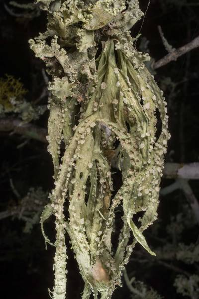 "Palmetto lichen (<B>Ramalina celastri</B>) on a bush in half-open area at Lake Somerville Trailway near Birch Creek Unit of Somerville Lake State Park. Texas, <A HREF=""../date-en/2020-01-26.htm"">January 26, 2020</A>"