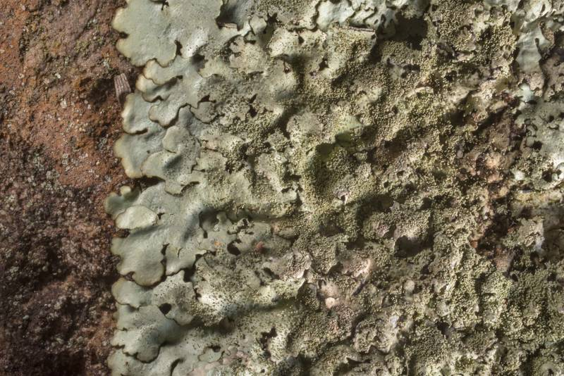 "Peppered rock-shield lichen <B>Xanthoparmelia conspersa</B> on a sandstone outcrop at Lake Somerville Trailway near Birch Creek Unit of Somerville Lake State Park. Texas, <A HREF=""../date-en/2020-01-26.htm"">January 26, 2020</A>"
