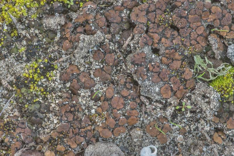 Limy soil stipplescale lichen (Placidium squamulosum) on shallow soil covering limestone on Moore's Hill Outcrop at FM Road 3090 2 miles north-east from Navasota. Texas, February 2, 2020