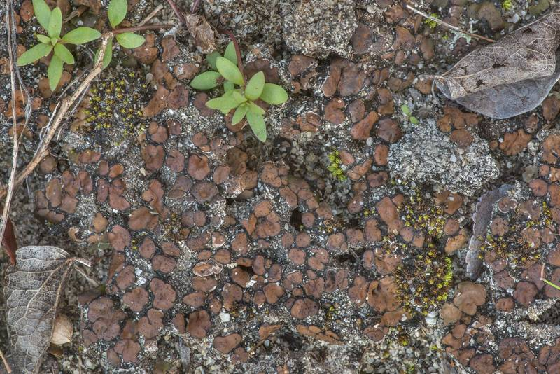 Limy soil stipplescale lichen (Placidium squamulosum) in dry condition on shallow soil covering limestone on Moore's Hill Outcrop at FM Road 3090 2 miles north-east from Navasota. Texas, February 2, 2020
