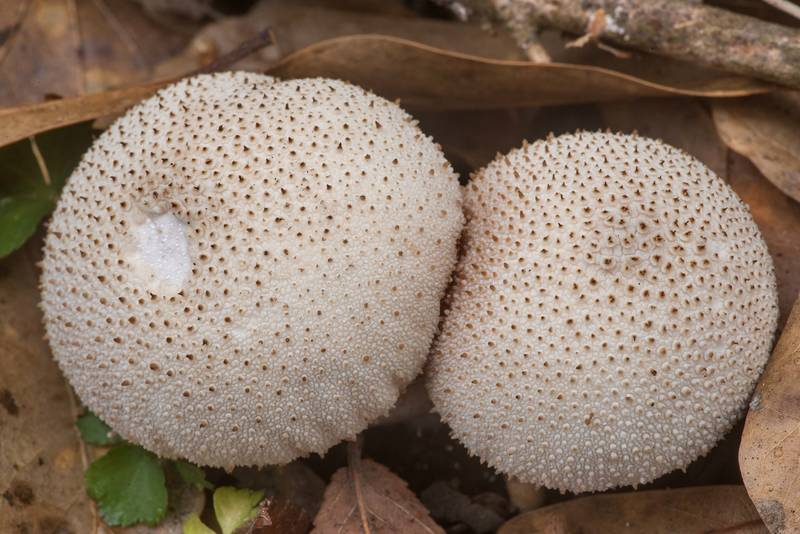 "Common puffball mushrooms (<B>Lycoperdon perlatum</B>) in Lick Creek Park. College Station, Texas, <A HREF=""../date-en/2020-02-05.htm"">February 5, 2020</A>"