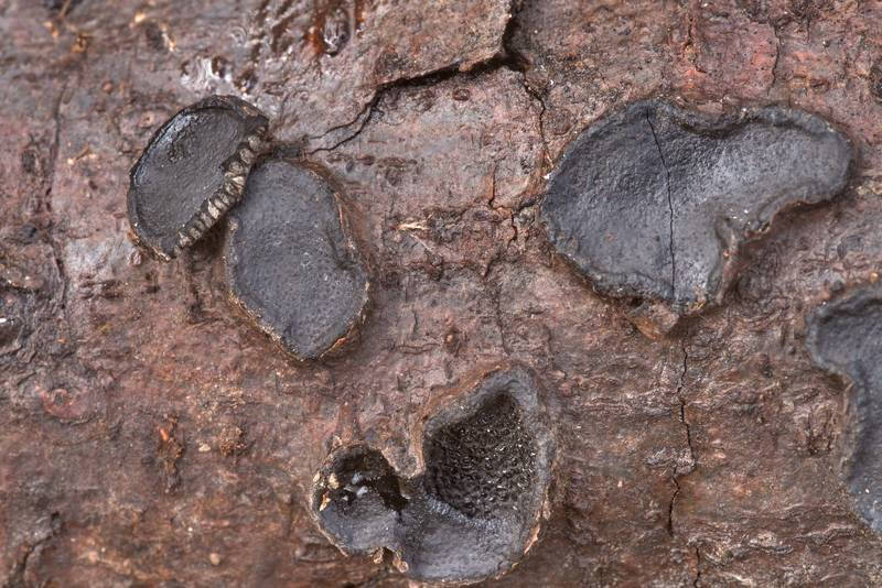 Close-up of black crust fungus Biscogniauxia repanda on a fallen tree branch in Lick Creek Park. College Station, Texas, February 13, 2020