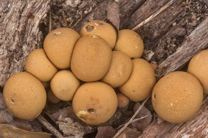 "Pear-shaped stump puffball mushrooms (<B>Lycoperdon pyriforme</B>) on Stubblefield section of Lone Star hiking trail north from Trailhead No. 6 in Sam Houston National Forest. Texas, <A HREF=""../date-en/2020-02-16.htm"">February 16, 2020</A>"
