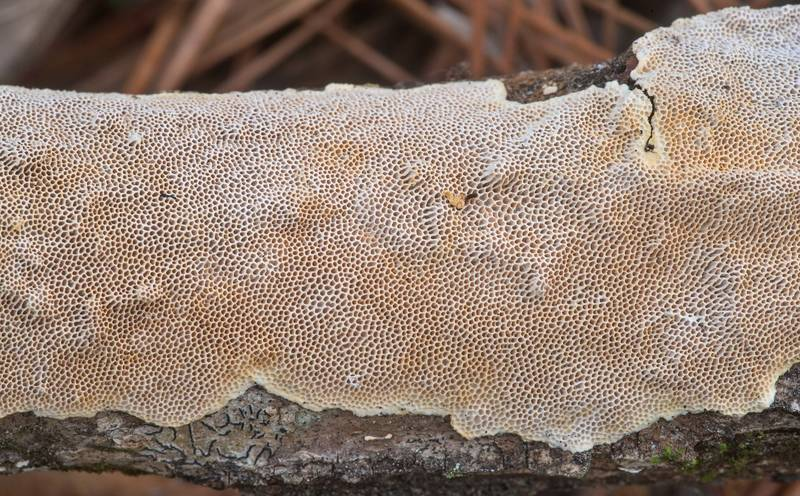 "Resupinate polypore mushroom <B>Perenniporia tenuis</B> on a fallen oak twig on Four Notch Loop Trail of Sam Houston National Forest near Huntsville. Texas, <A HREF=""../date-en/2020-02-22.htm"">February 22, 2020</A>"
