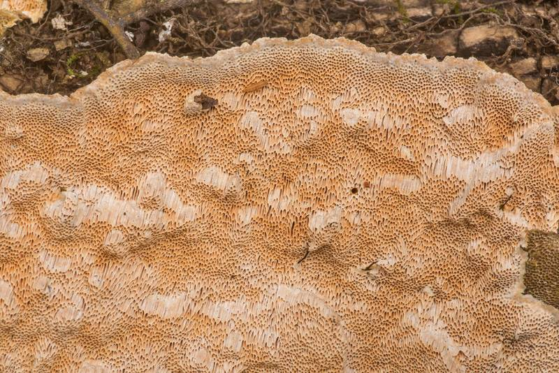 "Corticioid polypore fungus <B>Perenniporia tenuis</B>(?) on a fallen oak or elm on Four Notch Loop Trail of Sam Houston National Forest near Huntsville. Texas, <A HREF=""../date-en/2020-02-22.htm"">February 22, 2020</A>"