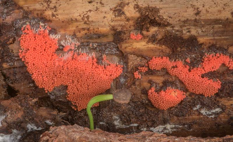 "Bright red slime mold <B>Arcyria ferruginea</B> on a side of a pine log on Four Notch Loop Trail of Sam Houston National Forest near Huntsville. Texas, <A HREF=""../date-en/2020-02-22.htm"">February 22, 2020</A>"