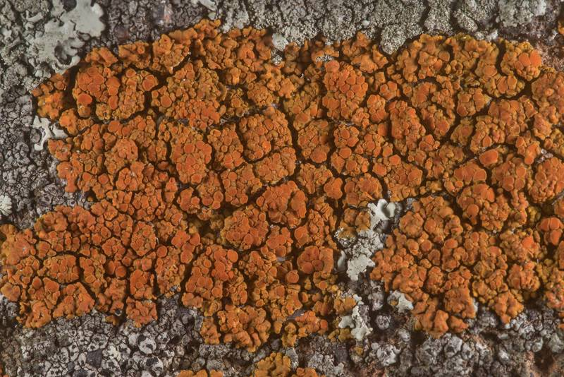 "Firedot lichen <B>Caloplaca squamosa</B> on sandstone of Lost Pines Overlook in Bastrop State Park. Bastrop, Texas, <A HREF=""../date-en/2020-02-23.htm"">February 23, 2020</A>"