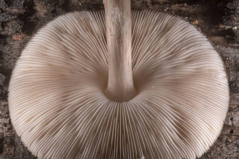 Gills of black-edged Pluteus mushroom (Pluteus atromarginatus) on Little Lake Creek Loop Trail in Sam Houston National Forest. Richards, Texas, March 8, 2020