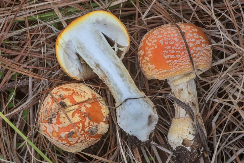 Fly agaric mushrooms (Amanita persicina, Amanita muscaria var. persicina) on Little Lake Creek Loop Trail in Sam Houston National Forest. Richards, Texas, March 8, 2020
