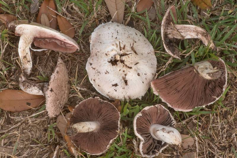 "Meadow mushrooms <B>Agaricus campestris</B> on New Main Drive on campus of Texas A and M University. College Station, Texas, <A HREF=""../date-en/2020-03-10.htm"">March 10, 2020</A>"