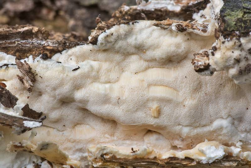 Soft resupinate polypore mushroom of a rotten oak log in Lick Creek Park. College Station, Texas, March 15, 2020