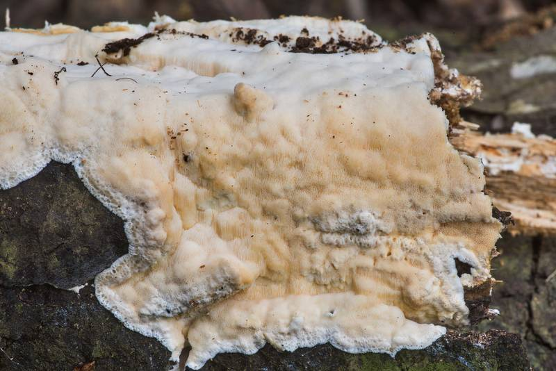 Pale brown resupinate polypore mushroom of a rotten oak log on Raccoon Run Trail in Lick Creek Park. College Station, Texas, March 15, 2020